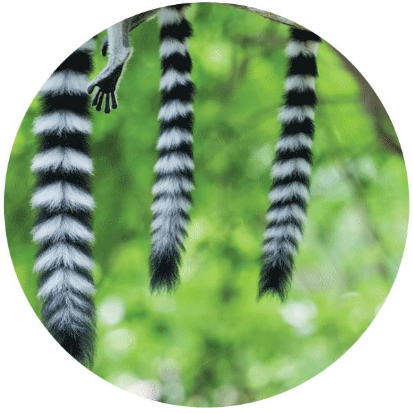 Lemur Madagskar gefährdet